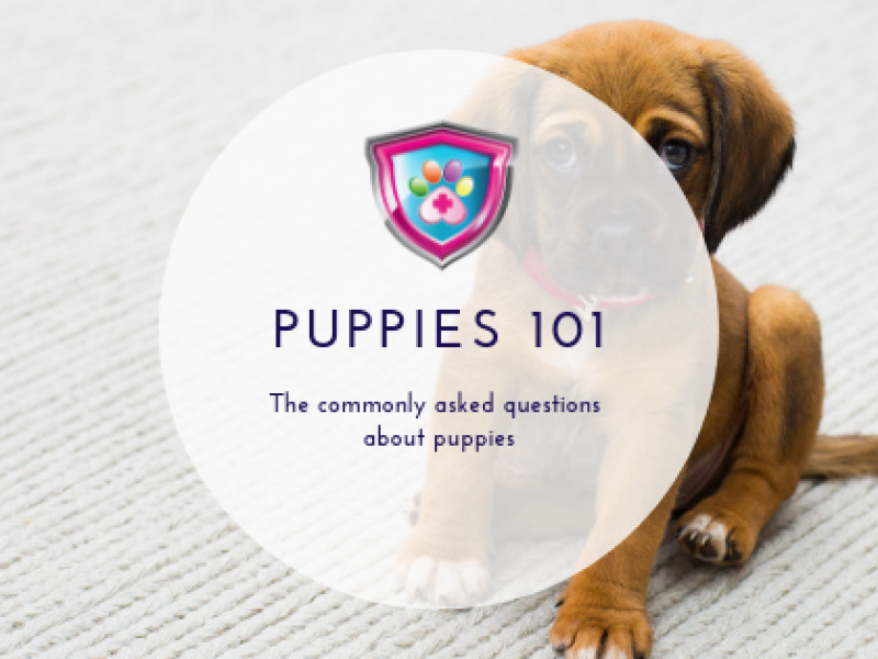 Puppies 101 The commonly asked questions about puppies