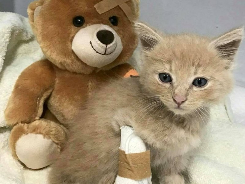 Kitten and teddy bear